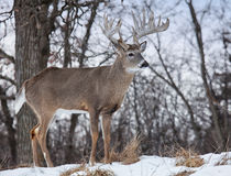 Whitetail buck deer Royalty Free Stock Photography