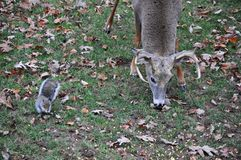Whitetail Buck Deer Eating Alongside a Squirrel. Whitetail buck deer eating corn alongside a squirrel in my back yard stock images
