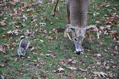 Whitetail Buck Deer Eating Alongside um esquilo imagens de stock