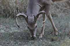 Whitetail buck deer grazing Royalty Free Stock Images