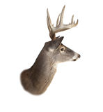 Whitetail Buck Deer Head Profile Royalty Free Stock Image