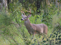 Whitetail buck deer 7 point Stock Images