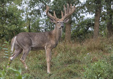Whitetail buck deer profile. Trophy whitetail deer buck in velvet.  Late summer in Wisconsin Royalty Free Stock Images