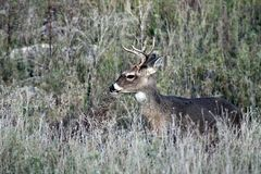Whitetail Buck Deer in Texas Hill Country Immagini Stock Libere da Diritti
