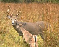 Whitetail Buck With Doe Stock Photo