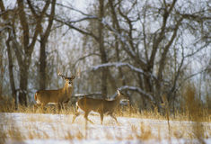 Whitetail Buck and Doe Stock Photos