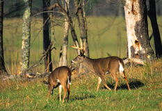 Whitetail Buck and Doe in Meadow Stock Photos