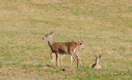 Whitetail buck with does Stock Images