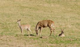 Whitetail buck with does Stock Image