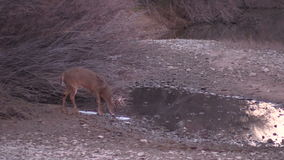Whitetail Buck Drinking metrajes