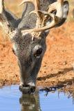 Whitetail buck drinking water Stock Photo