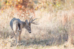 Whitetail buck in early fall Royalty Free Stock Image