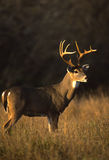 Whitetail Buck in Early Morning Stock Photos