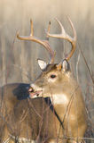 Whitetail buck in evening light Stock Images