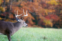 Whitetail buck and fall colors Royalty Free Stock Photography