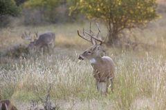 Whitetail buck in fall time Stock Photography