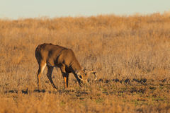 Whitetail Buck in Field Feeding Royalty Free Stock Photography