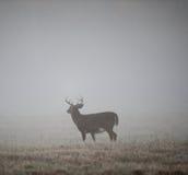 Whitetail buck in fog stock photo