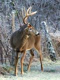 Whitetail Buck and Frost. An eight-point whitetail buck on a frosty morning Stock Photo