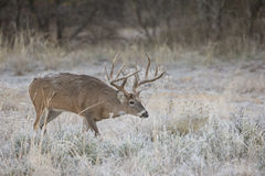 Whitetail Buck with frost on back searching for doe during the rut Royalty Free Stock Photos
