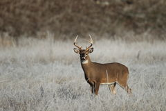 Whitetail Buck in frosty grass. A whitetail buck stands in a frosty meadow Royalty Free Stock Photos