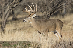 Whitetail Buck in full rut. Big whitetail buck during the rut Royalty Free Stock Photos