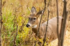 Whitetail buck on golden hour. A whitetail buck on a meadow on the golden hour stock photography