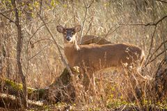 Whitetail buck in grass at sunset. A whitetail deer buck in tall grass at sunset stock photo