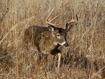 Whitetail Buck in Grassy Field Stock Photos