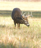 Whitetail buck grazing Stock Images