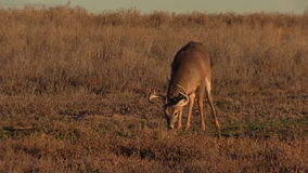 Whitetail Buck Grazing Royalty Free Stock Photos