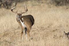 Whitetail Buck grooming self Stock Image