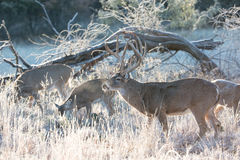 Whitetail buck with group of does Stock Photography