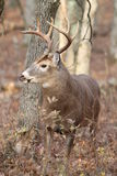 Whitetail Buck in hardwood forest. Royalty Free Stock Image