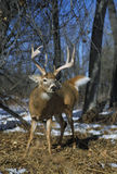 Whitetail Buck Head On Stock Photo