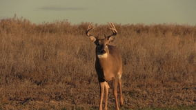 Whitetail Buck Head On Royalty Free Stock Photography