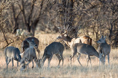 Whitetail buck with his does Stock Images