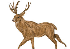 Whitetail buck. Isolated on a white background Royalty Free Stock Image