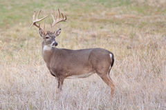 Whitetail buck looking behind. Whitetail buck looking back for doe Stock Images