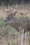 Whitetail Buck looking for doe Royalty Free Stock Image