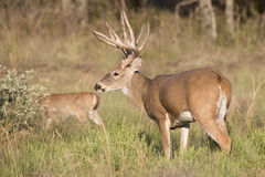 Whitetail Buck looking for forage Royalty Free Stock Images