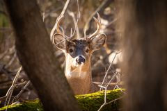 Whitetail buck looking through trees. A whitetail deer buck looking through the trees on a swamp at sunset stock photo