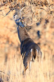 Whitetail buck making his scent mark on branch Stock Images