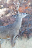 Whitetail buck making his scent mark on tree branch Royalty Free Stock Photos