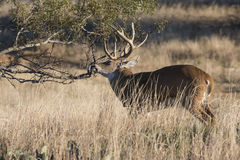 Whitetail buck making rub on tree Royalty Free Stock Images