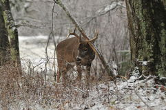 Whitetail Buck making a rub Royalty Free Stock Images