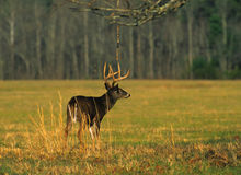 Whitetail Buck in Meadow Stock Image