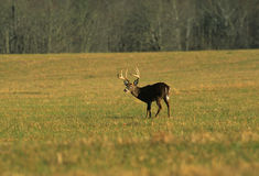 Whitetail Buck in Meadow. A nice whitetail buck takes a break from feeding in a lush meadow Stock Photos