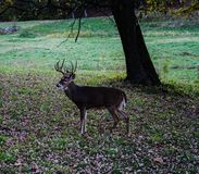 Whitetail buck in Missouri royalty free stock photography