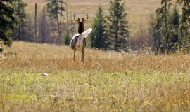 Whitetail Buck on the Move. Whitetail buck running away from me Royalty Free Stock Image